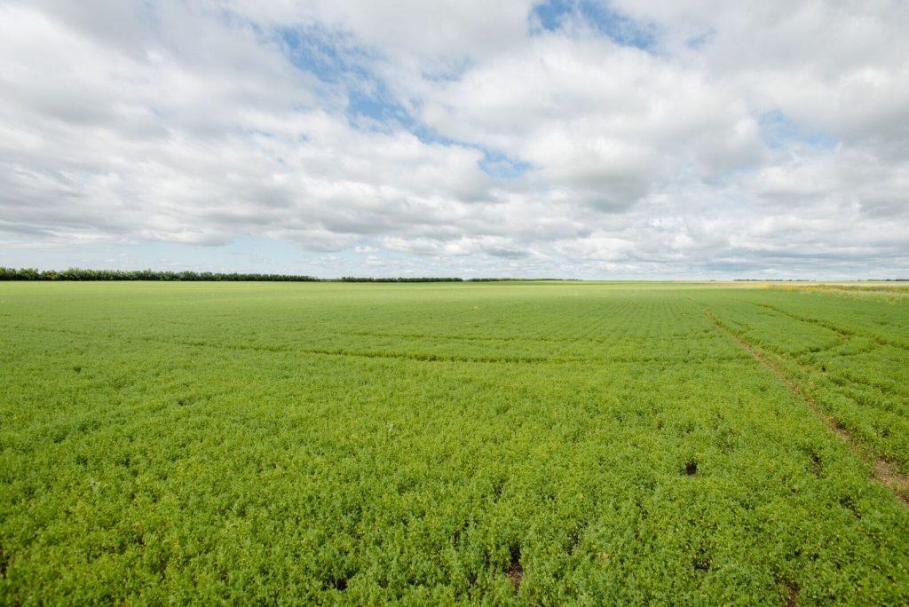 Lentil field 2